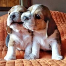 Adorable Ckc Beagle Puppies for Rehoming