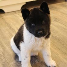 Amazing Ckc Akita Puppies Available