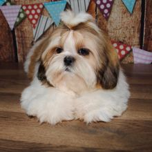 Eye Catching Ckc Shih Tzu Puppies Available