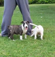 English Bull Terrier Puppies For Sale-Text now (204) 817-5731