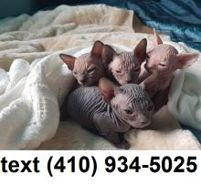 Lovely sphynx hairless kittens for sale.