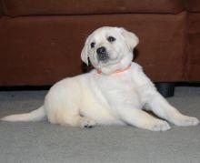 Labrador Retriever Pups For Sale-Text now (204) 817-5731) Image eClassifieds4U