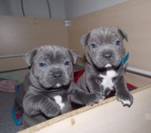 Two Blue cKc Staffy Puppies Now Ready To Go-Text On ( 204) 817-5731 ) Image eClassifieds4U