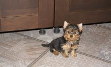 Yorkie Puppies Image eClassifieds4U