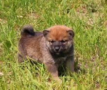 Shiba Inu Puppies