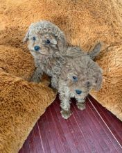 Staggering Ckc Toy poodle Puppies Available