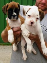 Saskatoon Boxer : Dogs, Puppies for Sale Classifieds at