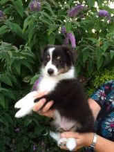 Sheltie Puppies Image eClassifieds4U