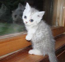 Beautiful Munchkin kittens.
