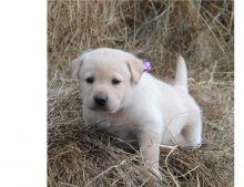Cute Labrador retriever puppies now ready
