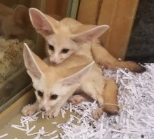 Loving homes required for Beautiful Fennec Fox Kits ready