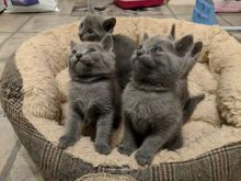 Russian Blues Kittens Beautiful 'Pure Bred'