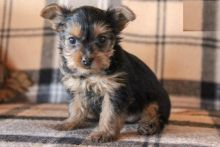 Yorkshire Terrier Puppies Image eClassifieds4U