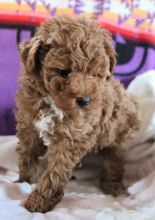 Toy Poodle Puppies Image eClassifieds4U