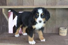 Bernese Mountain Puppies,2 pups left.