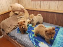 Chow Chow Puppies,2 pups left.