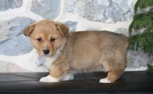 Corgi Puppies,2 pups left.