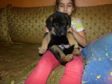 German Shepherd Puppies,2 pups left.