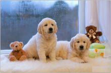 Golden Retriever Puppies,2 pups left.