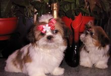 Shih Tzu Puppies,2 pups left.