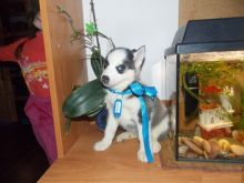 Siberian Husky Puppies,2 pups left.