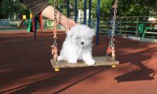 Maltese Puppies,2 pups left. Image eClassifieds4U