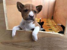 Afectionate Basenji Puppies