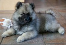 Gorgeous Keeshond Puppies available