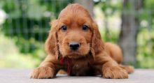 Healthy special Irish Setter Puppies For Adoption