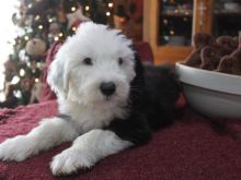 Well Trained Precious Old English Sheepdog Puppies