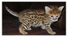 Serval kittens , Caracal and Ocelot kitten for sale