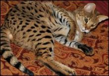 Savannah, Serval kittens , Caracal and Ocelot kitten for sale Image eClassifieds4u 1