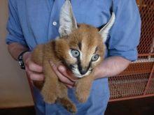 Savannah, Serval kittens , Caracal and Ocelot kitten for sale Image eClassifieds4u 2