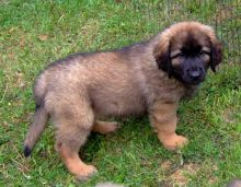 Cute Leonberger Puppies Available