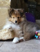 Good Looking Shetland Sheepdog Puppies for adoption