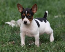 Male and female Rat Terrier for Adoption