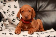 Top Quality Male and Female Vizsla Pups