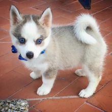 Pomsky Puppies Available Image eClassifieds4u 1