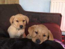2 healthy, home trained Labrador Retriever pups for adoption.