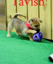 Beautiful white Cairn Terrier Puppies Available Free