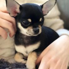 Two Chihuahua Puppies For Re-homing Image eClassifieds4u 2