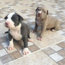 AWESOME PERSONALITY CKC BLUE NOSE AMERICAN PITBULL TERRIER PUPPIES