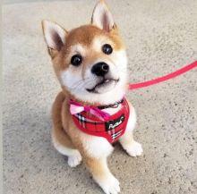 🐾💝🐾 Beautiful 🐾💝🐾 Ckc Shiba Inu Puppies Available🐾💝