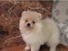 ☂️ Charming Ckc Pomeranian Puppies ☂️