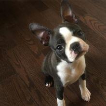☂️ ☂️ Ckc ☂️ Boston Terrier ☂️ ☂️ ☂️Email at us ☂️ ☂️ [fabianrecaldo