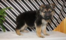 ☂️ ☂️ ☂️Ckc German Shepherd ☂️ Puppies ☂️ ☂️ ☂️ Email at us ☂️ ☂�