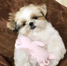☂️ ☂️ ☂️Ckc ☂️ Shih Tzu Puppies Email at us ☂️ ☂️ [ fabianrecaldo@gmail.com
