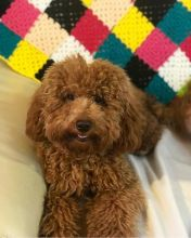 ☂️Energetic Ckc ☂️Toy Poodle Available For Adoption