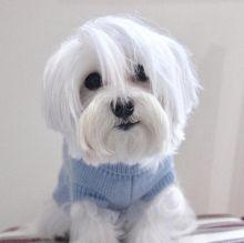 ☂️ Sensational ☂️ Ckc Maltese Puppies ☂️
