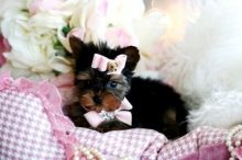 Gorgeous Male and Female Yorkie Puppies For Adoption